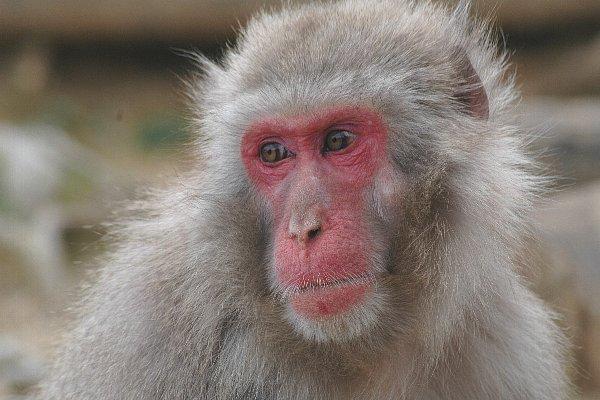 ニホンザル - Japanese macaque